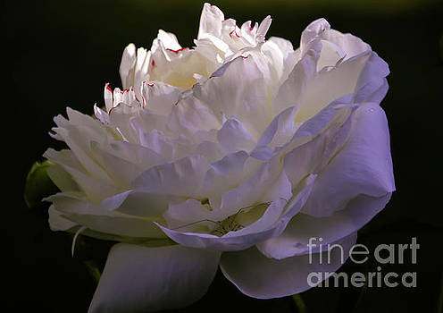 Peony at Eventide by Marilyn Carlyle Greiner
