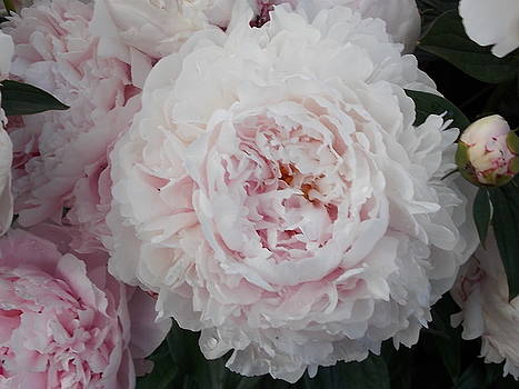 Peony Family by Coleen Harty