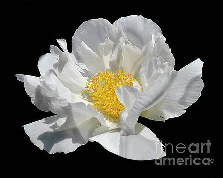 Peony June by Diane E Berry