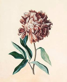 Peony by MotionAge Designs