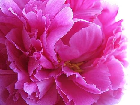 Peony Petals by Carol Welsh