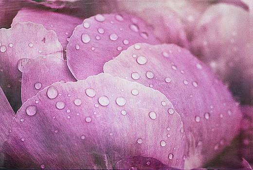 Peony Petals by Cindi Ressler