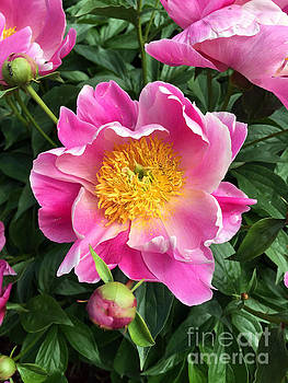 Peony by Roxanne Marshal