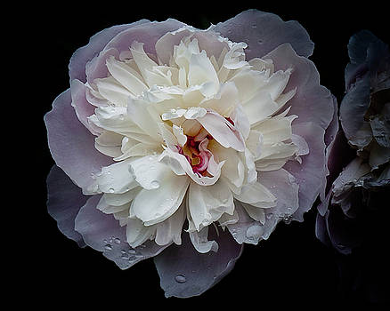 Peony Study Number Five by Michael Putnam