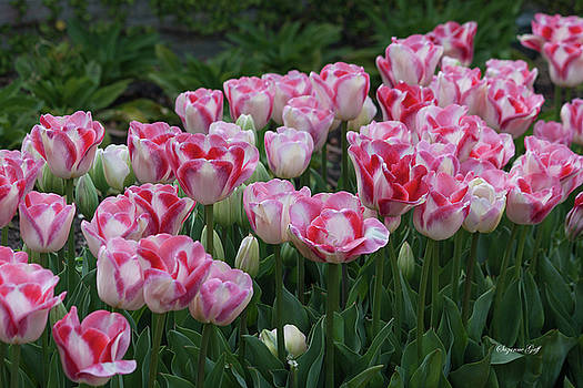 Peppermint Tulip Field II by Suzanne Gaff