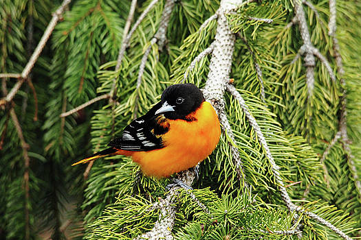 Debbie Oppermann - Perched Baltimore Oriole