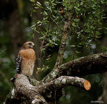 Perched Falcon  by Debra Forand
