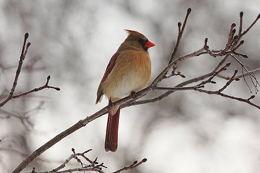 Debbie Oppermann - Perched Female Red Cardinal