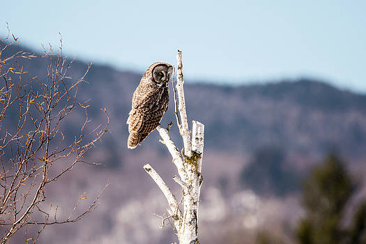 Perched Great Grey Owl 2 by Tracy Winter