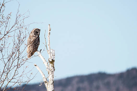 Perched Great Grey Owl by Tracy Winter