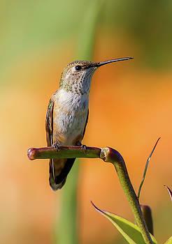 Perched Hummingbird by Athena Mckinzie