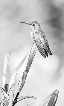Perched Hummingbird Black And White by Athena Mckinzie