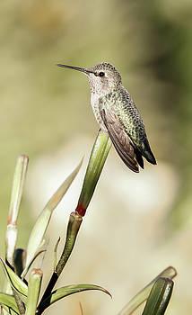 Perched Hummingbird On Flower by Athena Mckinzie