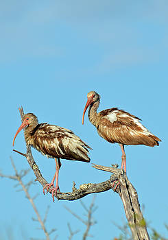 Perched White Ibises by Bruce Gourley