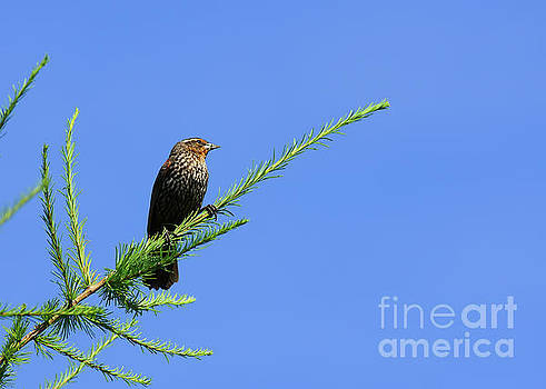 Perched on a Tamarack by Robin Clifton