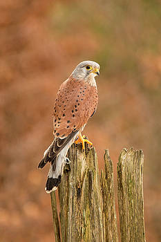 Perched Raptor by David Hare