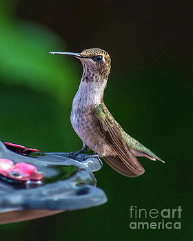Perched Ruby Throated Hummingbird by Stephen Whalen
