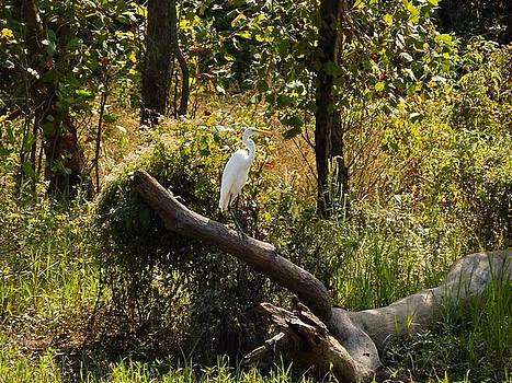 Perched Snowy Egret by Chris Tarpening