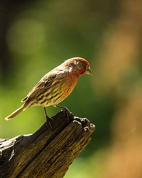 Perching house finch by Roy Nierdieck