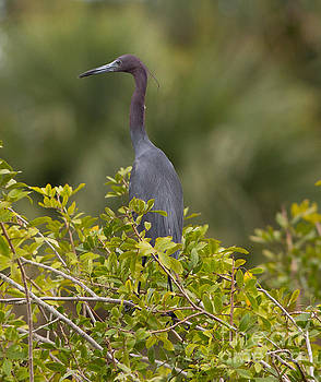 Perching Little Blue Heron by Natural Focal Point Photography