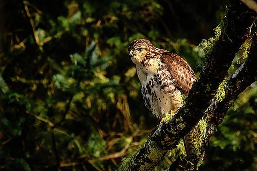 Michael McAuliffe - Perching Red-tailed Hawk