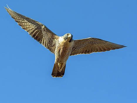Tam Ryan - Peregrin Falcon