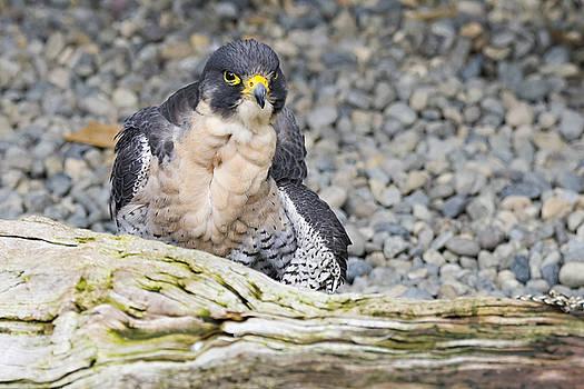 Peregrine Falcon 2 by Harold Piskiel