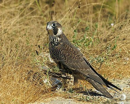 Peregrine Falcon by Doug Herr