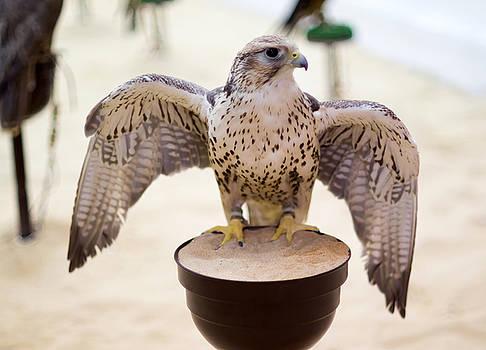 Peregrine falcon in Doha Souq by Paul Cowan