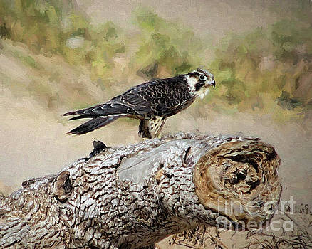 Peregrine Falcon, Sargent Texas by TN Fairey