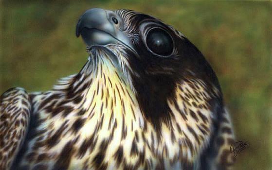 Peregrine Falcon by Wayne Pruse