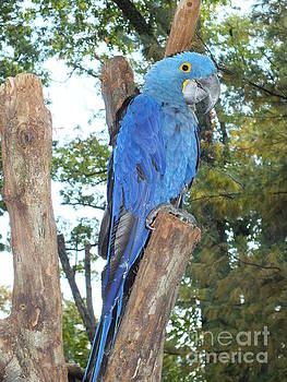 Cindy Treger - Perfect Pose - Hyacinth Macaw