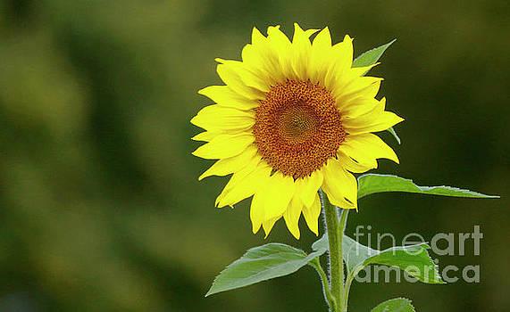 Perfect Sunflower by Debbie Parker