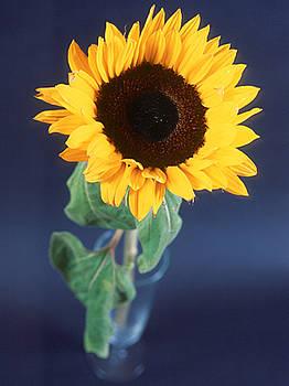 Perfect Sunflower in Glass by Jennifer Ferrier