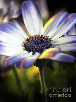 Pericallis Kissed By Golden Light by Dorothy Lee