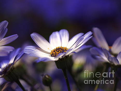 Pericallis On A Cool Spring Evening 2 by Dorothy Lee