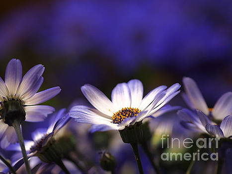 Pericallis On A Cool Spring Evening 4 by Dorothy Lee