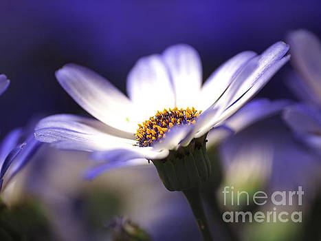 Pericallis On A Cool Spring Evening by Dorothy Lee