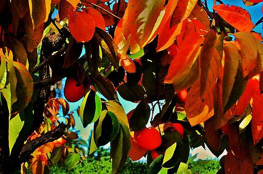 Persimmon 3 by Helen Carson