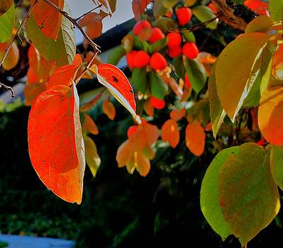 Persimmon 4 by Helen Carson