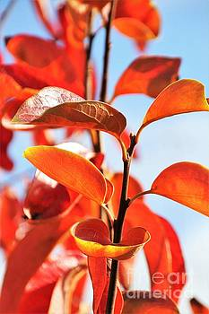 Persimmon Leaves by Tracey Lee Cassin