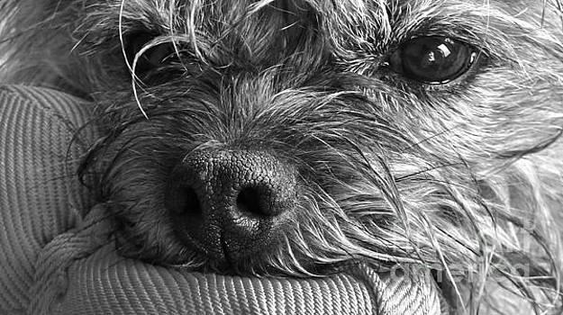 Pet Portrait - Puck II by Laura Wong-Rose