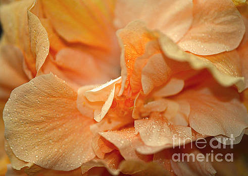 Connie Fox - Petal Power. Apricot Hibiscus Macro