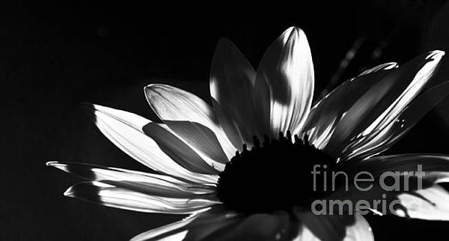 Petals Black and White by Glennis Siverson