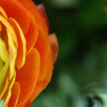Petals by Lynn England