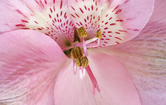 Petals Of Pink by Dee Johnson