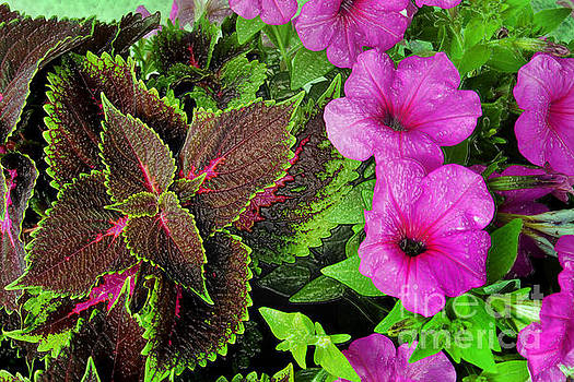 Jeff McJunkin - Petunia and Coleus