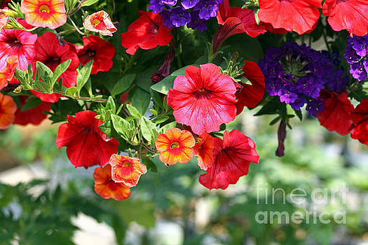 Petunias by Denise Pohl