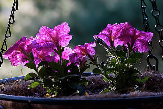 Petunias, Hanging Basket, Hunter Hill, May 5, 2008 by James Oppenheim