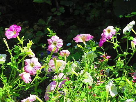 Petunias in the garden by Galina Todorova